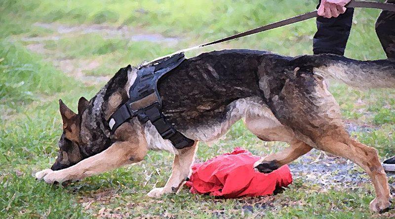 perro-de-trailing-siguiendo-un-rastro